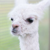 White baby alpaca Royalty Free Stock Image