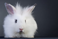 White baby bunny. Sitting on a gray background royalty free stock photo