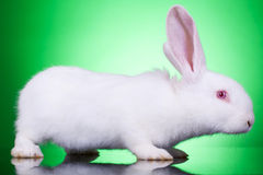 White baby bunny Stock Image