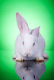 White baby bunny. Standing on a green background stock photography