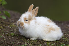 White baby bunny. Sitting on the ground royalty free stock image