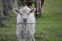 White baby calf Stock Photography