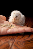 White baby chick eating out of a hand. Newly hatched white and yellow baby Ameraucana chick eating out of a Caucasian hand on a wooden table with a black Royalty Free Stock Photo