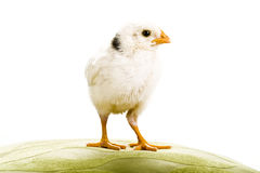 White baby Chicken looking to the right Royalty Free Stock Image