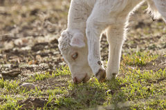 White Baby Cow Calf eating grass Stock Photo