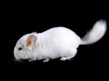 White baby  ebonite chinchilla Royalty Free Stock Images