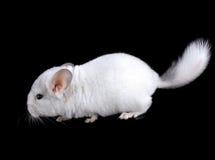 White baby  ebonite chinchilla. White baby ebonite chinchilla on black background Royalty Free Stock Images