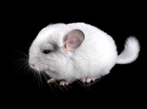 White baby  ebonite chinchilla Royalty Free Stock Image