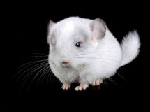 White baby  ebonite chinchilla Stock Photos