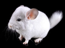 White baby  ebonite chinchilla on black Stock Photo
