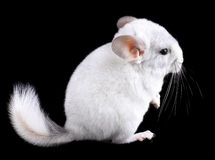 White baby  ebonite chinchilla on black Stock Photography