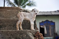White baby goat stock photography