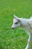 A white baby goat Royalty Free Stock Photo