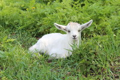 White baby goat Stock Images