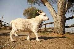 White baby goat in a farm Royalty Free Stock Photography