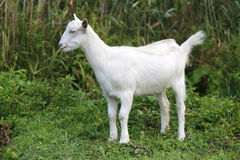 White baby goat grazing on a green meadow Stock Images