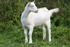 White baby goat grazing on a green meadow Royalty Free Stock Image