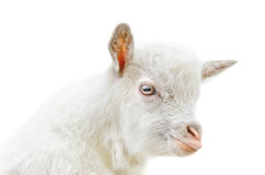 White baby goat. Head on a white background Stock Images