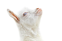 White baby goat Stock Photo