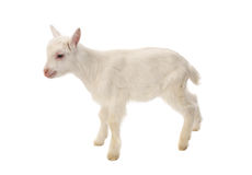 White baby goat isolated Royalty Free Stock Photos