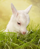 White baby goat in a meadow Royalty Free Stock Photos