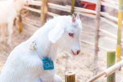 White baby goat playing with bamboo fence ,Close up of white goats in farm Stock Photos