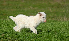 Baby goat running Royalty Free Stock Photography