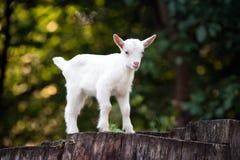 Goat on tree stump. White baby goat standing on tree stump stock images