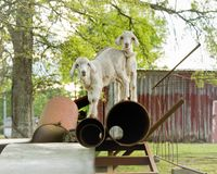 Baby Goats on Farm. White baby goats or kids playing on farm stock photo
