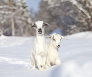 White baby goats in winter Royalty Free Stock Photography