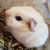 White Baby Guinea Pig royalty free stock photo
