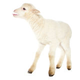 White baby lamb Royalty Free Stock Image
