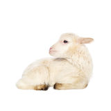 White baby lamb Stock Photos