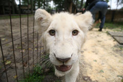 White baby lion. Close-up Royalty Free Stock Images