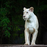 White baby lion Stock Images