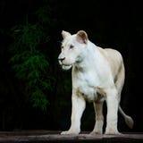 White baby lion Stock Photos