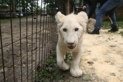 White baby lion. Walking on the camera Royalty Free Stock Images