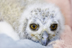 White Baby Owl Royalty Free Stock Photos