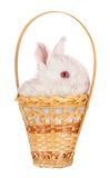 White baby rabbit in a basket Royalty Free Stock Image