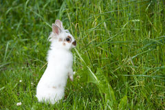 White baby rabbit with brown spots eats green grass on a meadow Stock Images