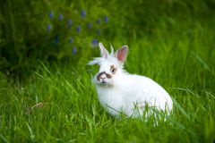 White baby rabbit with brown spots on a green meadow. White baby rabbit with brown spots sitting on a green meadow Royalty Free Stock Photo