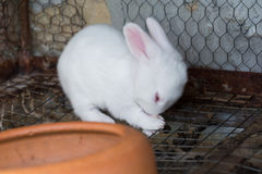 White baby rabbit in the cage Royalty Free Stock Photos