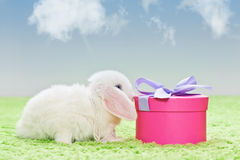 White baby rabbit with gift Stock Image