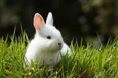 White baby rabbit in grass Royalty Free Stock Images