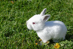 White baby rabbit Royalty Free Stock Images