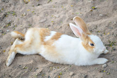 White Baby Rabbit Royalty Free Stock Photo