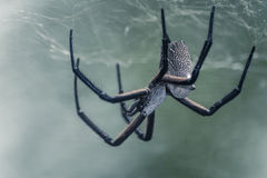 White Back Spider Constructing It's Web. Close up of asian white back spider Stock Photos