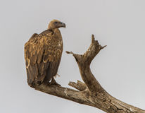 White Backed African Vulture Of Tanzania Royalty Free Stock Images