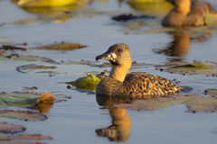 White backed Duck on lily pond Royalty Free Stock Photos