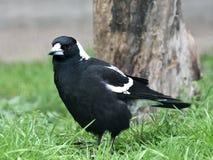 White-backed magpie (gymnorhina hypoleuca) Royalty Free Stock Photography